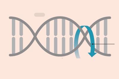 STEP ③ 유전체 복제