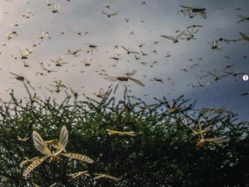 [시사과학] 하늘을 뒤덮은 사막메뚜기?