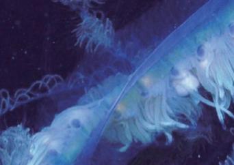 [한 장의 과학] 120m짜리 거대 해파리의 정체는?