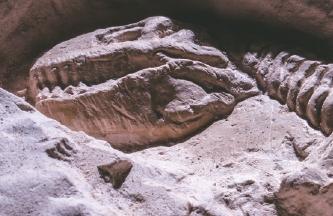 [수학뉴스] 화석만 보고 공룡 성별 알아낸다