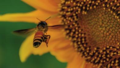 """[한페이지 뉴스] """"해바라기꽃으로 Go!"""" 꿀벌도 훈련된다"""