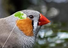 [한페이지 뉴스] 새가 '박치'가 아닌 이유, 뇌에서 찾았다