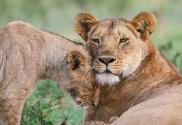 [슬기로운 동물원 생활] 사자 '도도'가 식욕을 잃은 까닭은?