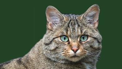 [특집] 너무 매력적이어서 멸종 위기에 처한 야생고양이?