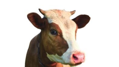[그래프뉴스] 소에게 해초 먹이니 온실가스 82% 줄었다!