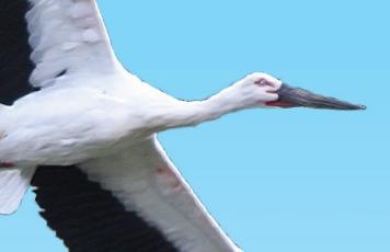 멸종의 과거 딛고 펼친 흰 날갯짓, 황새