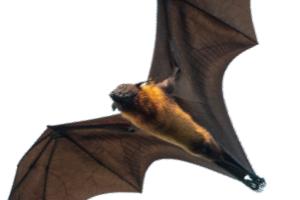 [한페이지 뉴스]박쥐 수명과 나이의 비밀 후성유전학은 알고 있다