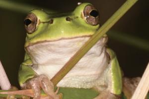 [할말있어요! 지구사랑탐사대] 보호종이 되기도 전에 절멸할지도 몰라! 노랑배청개구리를 지켜 주세요!