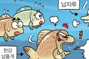 [4컷 만화] 납자루와 한강납줄개 속간잡종 발견!